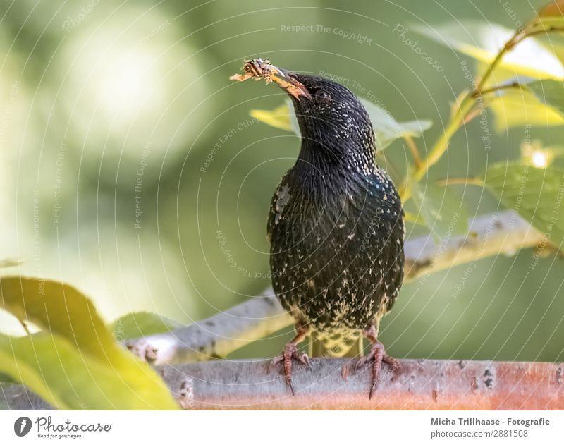 Star mit Futter im Schnabel Natur grün Baum Tier Blatt schwarz gelb Auge natürlich orange Vogel leuchten glänzend Wildtier sitzen Feder
