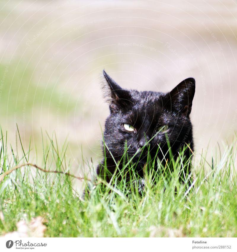 Balu Umwelt Natur Pflanze Tier Sommer Gras Garten Wiese Haustier Katze Tiergesicht Fell 1 elegant nah natürlich grün schwarz Jagd beobachten Ohr Farbfoto