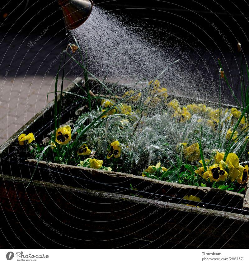It Hurts Me To Pflanze Blume Blüte Blumenkasten nass gelb schwarz Gefühle gießen Wasserspritzer Wassertropfen Farbfoto Gedeckte Farben Außenaufnahme