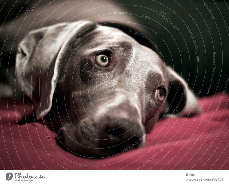 na? noch ne Runde raus? Tier Haustier Hund Tiergesicht Fell Weimaraner 1 Decke Sofa beobachten liegen Blick Gefühle Vorfreude Leidenschaft achtsam Wachsamkeit