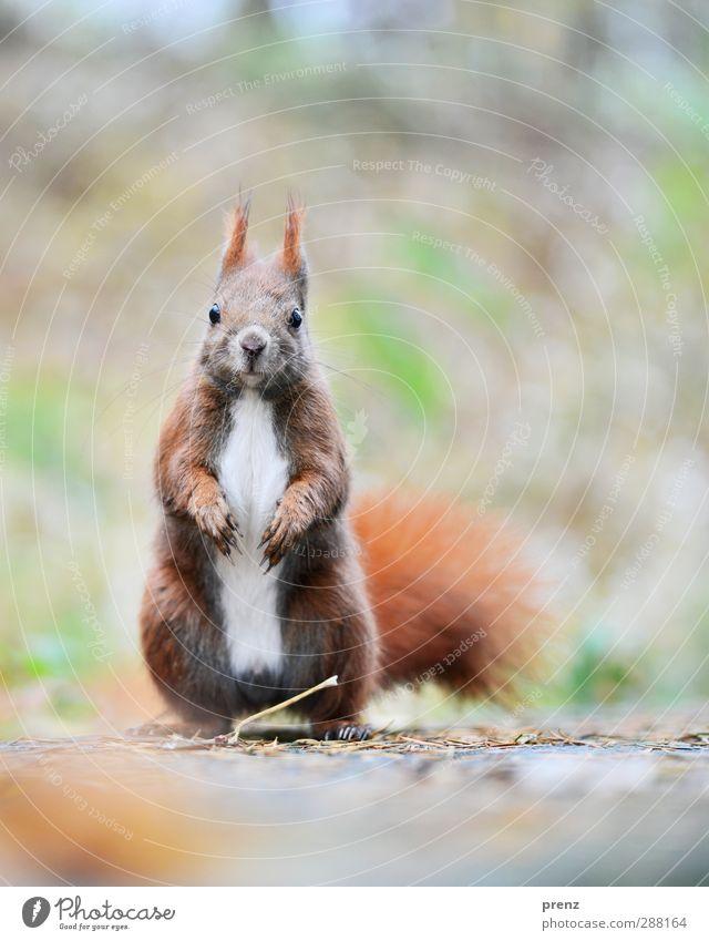 Cornetto Umwelt Natur Tier Wildtier 1 braun grau Eichhörnchen Nagetiere Farbfoto Außenaufnahme Menschenleer Textfreiraum rechts Textfreiraum oben Morgen