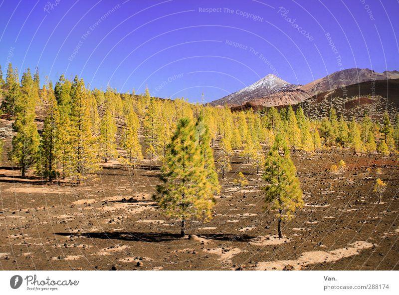 Teide II Natur blau Ferien & Urlaub & Reisen grün Pflanze Baum Landschaft Berge u. Gebirge Felsen braun Erde Schönes Wetter Schneebedeckte Gipfel