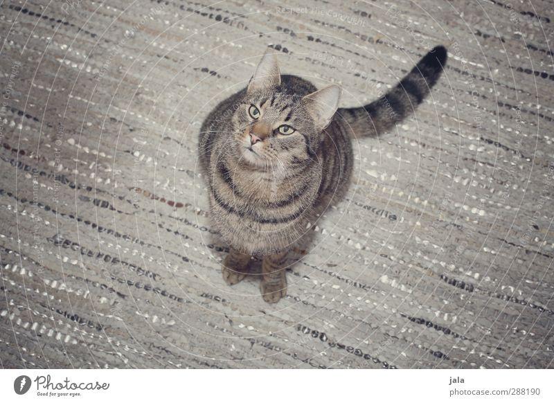 silver Katze Tier grau ästhetisch Haustier