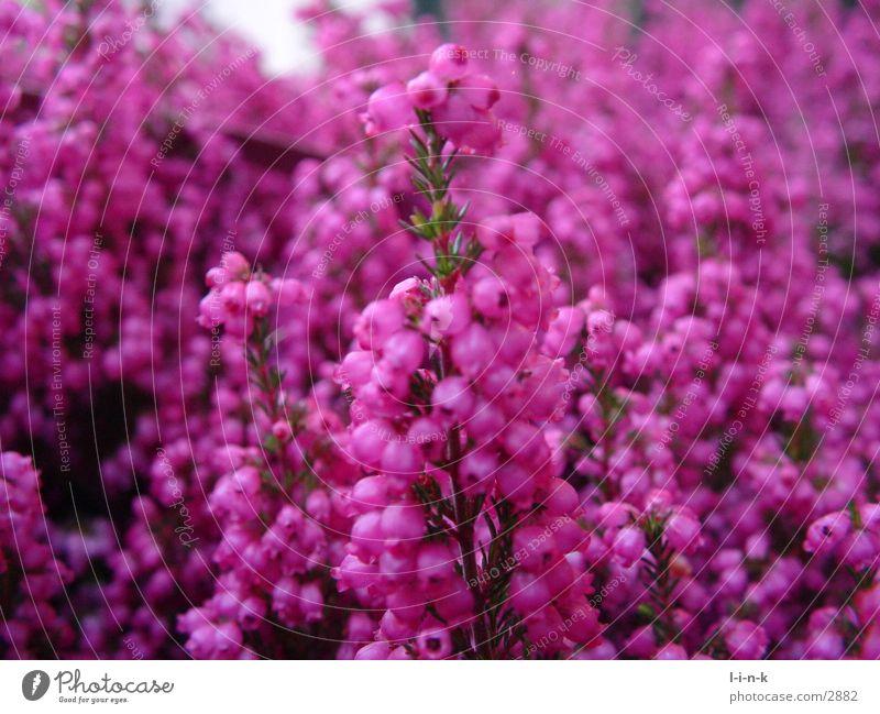 Erica gracilis Heidekrautgewächse rosa