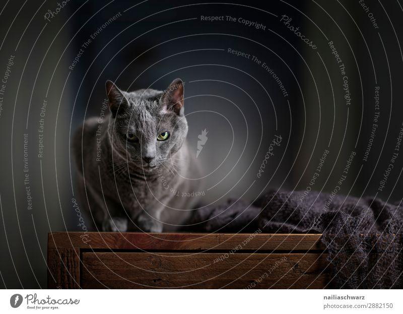 Russisch Blau Katze Lifestyle elegant Erholung Häusliches Leben Wohnung Tier Haustier Tiergesicht 1 Schal Tisch Holztisch beobachten liegen Blick warten einfach