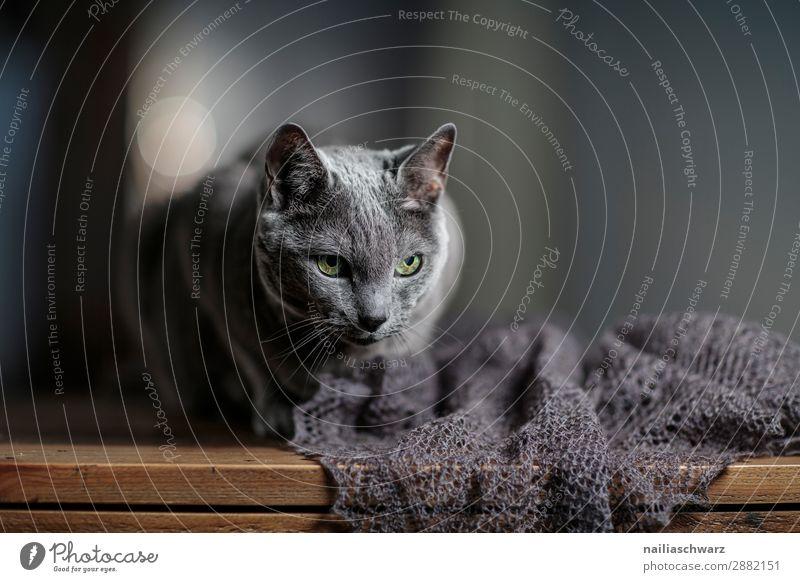 Russisch Blai Katze elegant Erholung Schal Tier Haustier Russisch blau Katze Tisch beobachten Blick warten alt dunkel natürlich Neugier niedlich weich grau