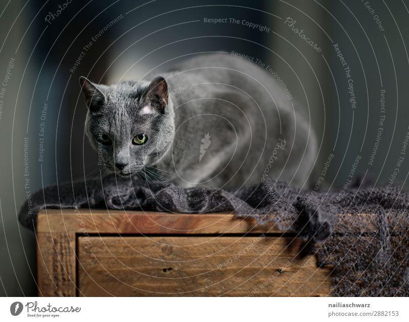 Russisch Blaue Katze Hauskatze Porträt Atelier schließen abschließen Decke Gesicht Stillleben Stilleben Reinrassig grau blau niedlich elegant Auge Schnurren