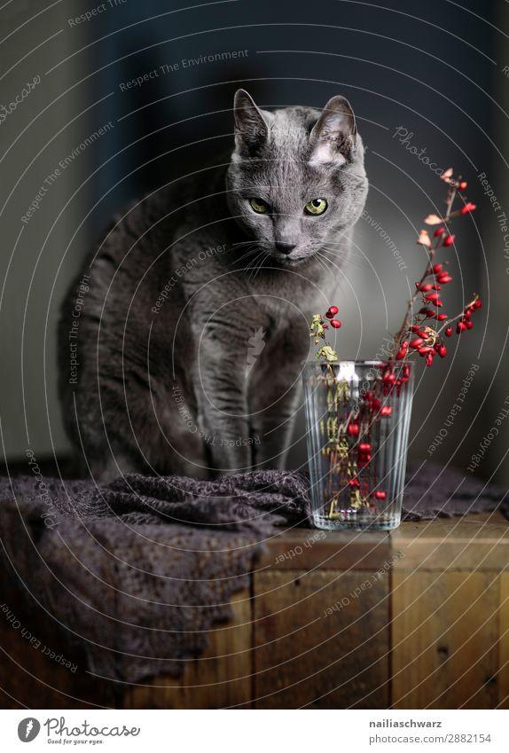 Russisch Blau Katze und rote Beeren elegant Erholung Sträucher Schal Tier Haustier Tiergesicht russisch blau Katze 1 Tisch Holztisch Glas Vase Blick sitzen
