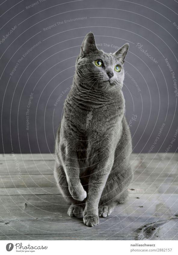 Russisch blau Katze Lifestyle elegant Stil harmonisch Erholung ruhig Tier Haustier 1 beobachten Blick sitzen Coolness frech kuschlig klein Neugier niedlich