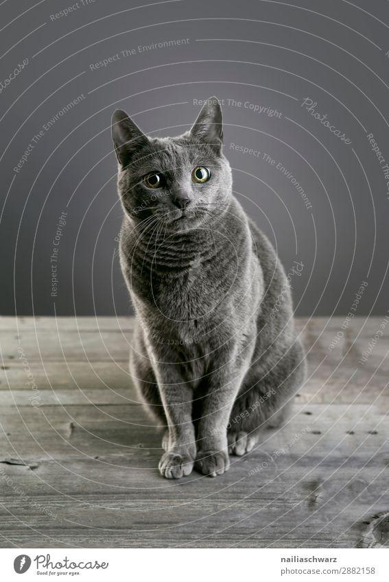 Russisch Blau Katze elegant Erholung Tier Haustier Tiergesicht 1 Tisch Holztisch beobachten Blick warten schön Neugier niedlich weich blau grau Fröhlichkeit