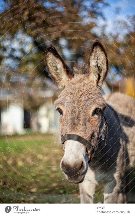 Eselsohr Tier Nutztier Tiergesicht Bauernhof ländlich 1 natürlich Neugier niedlich Farbfoto Außenaufnahme Tag Schwache Tiefenschärfe Tierporträt