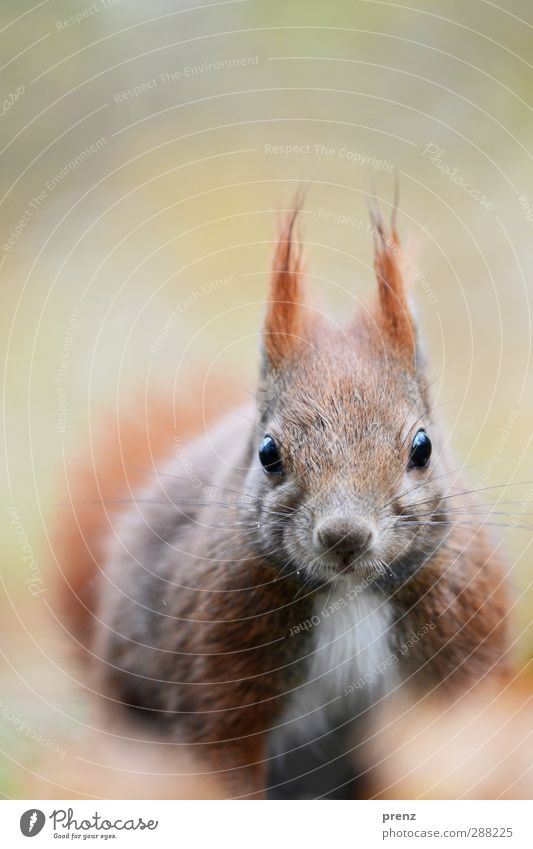 squirrel Umwelt Natur Tier Wildtier 1 niedlich braun grau Eichhörnchen Nagetiere Blick Farbfoto Außenaufnahme Menschenleer Textfreiraum oben Tag