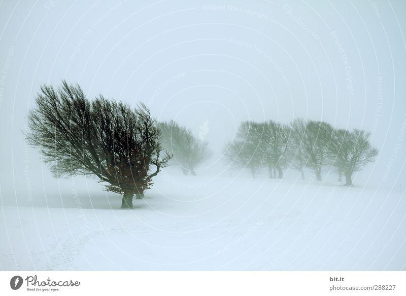 Bäume loben Umwelt Natur Landschaft Pflanze Winter Klima schlechtes Wetter Unwetter Wind Sturm Nebel Eis Frost Schnee Schneefall Wald frieren dunkel kalt trist