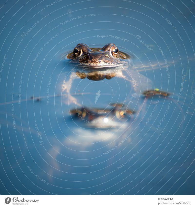 Hauptsache, den Kopf über Wasser halten Natur Tier Frühling Schönes Wetter Moor Sumpf Teich See Wildtier Frosch Tiergesicht 2 Tierpaar tauchen Umarmen blau