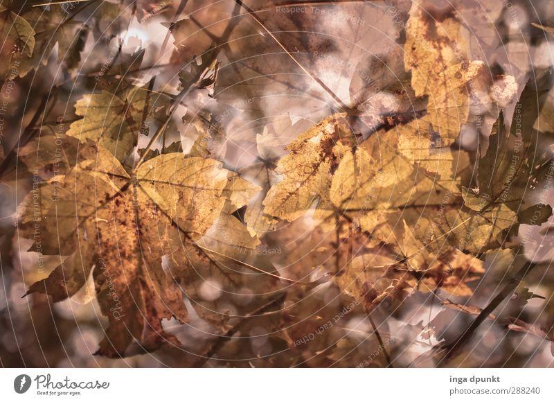 Laubwerk Natur Pflanze Baum Blatt Umwelt Herbst Jahreszeiten Herbstlaub herbstlich Ahornblatt Ahorn Blattadern Wildpflanze