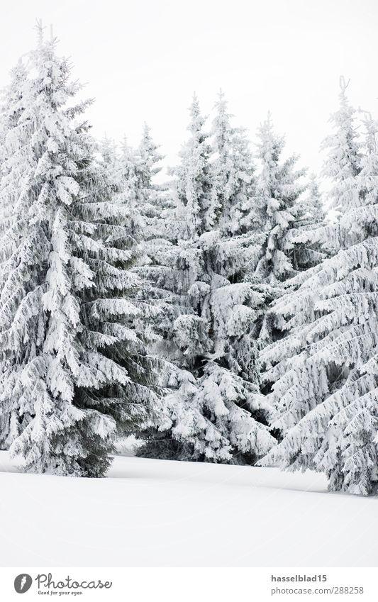 Winter in Thüringen Erholung ruhig Schnee Winterurlaub Berge u. Gebirge Umwelt Landschaft Pflanze Tier Klima Schneefall Baum Wald kalt Tanne Fichte