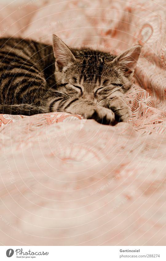 La petite Katze Tier Tierjunges klein braun schlafen niedlich Bett Fell Bettwäsche Tiergesicht Müdigkeit Haustier Pfote Katzenbaby Katzenkopf