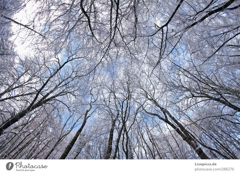 Zweig gegen Ast Umwelt Natur Landschaft Pflanze Himmel Wolken Winter Schönes Wetter Schnee Baum Wildpflanze Wald Holz kalt oben blau weiß Farbfoto Außenaufnahme