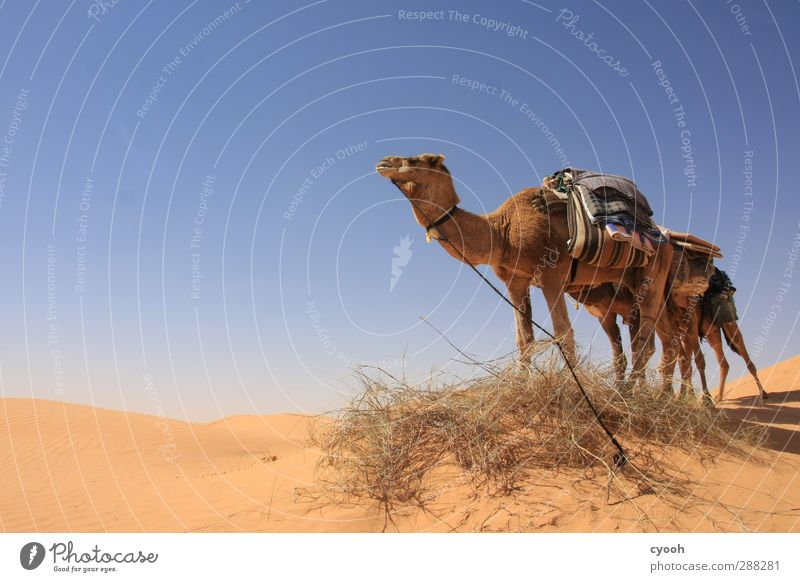 große Tiere... Himmel Ferien & Urlaub & Reisen blau Sommer gelb Ferne Wärme Sand hell Gesundheit Zusammensein Kraft Klima warten Schönes Wetter
