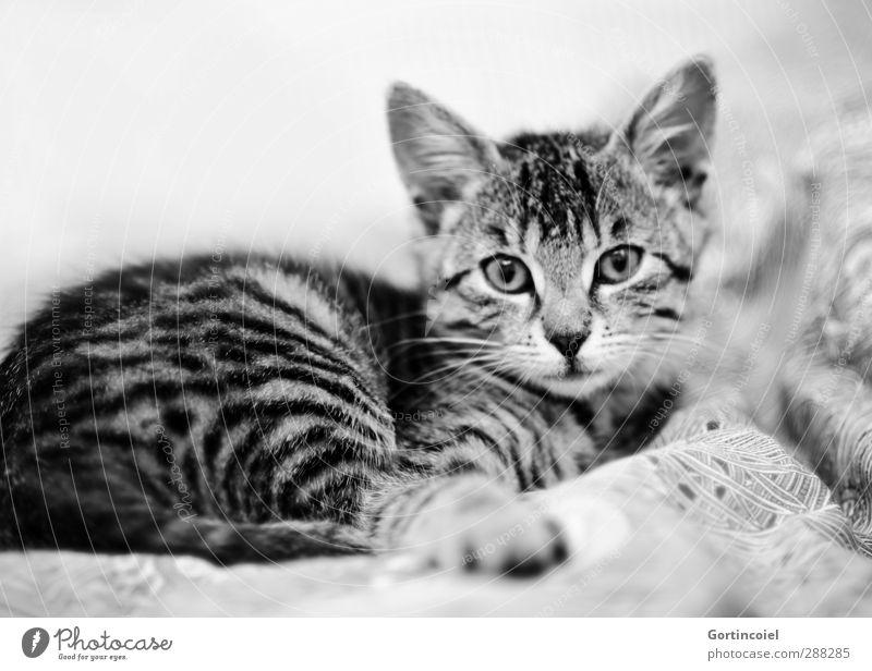 Tigerchen Katze Tier Tierjunges liegen niedlich Bett Fell Tiergesicht Haustier Katzenbaby Tigerfellmuster Katzenkopf
