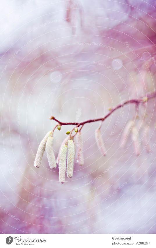 Hazel Natur Pflanze Frühling Herbst Winter Baum Sträucher Wald schön violett rosa Haselnuss Blütenknospen Zweig zart sanft Farbfoto mehrfarbig Außenaufnahme