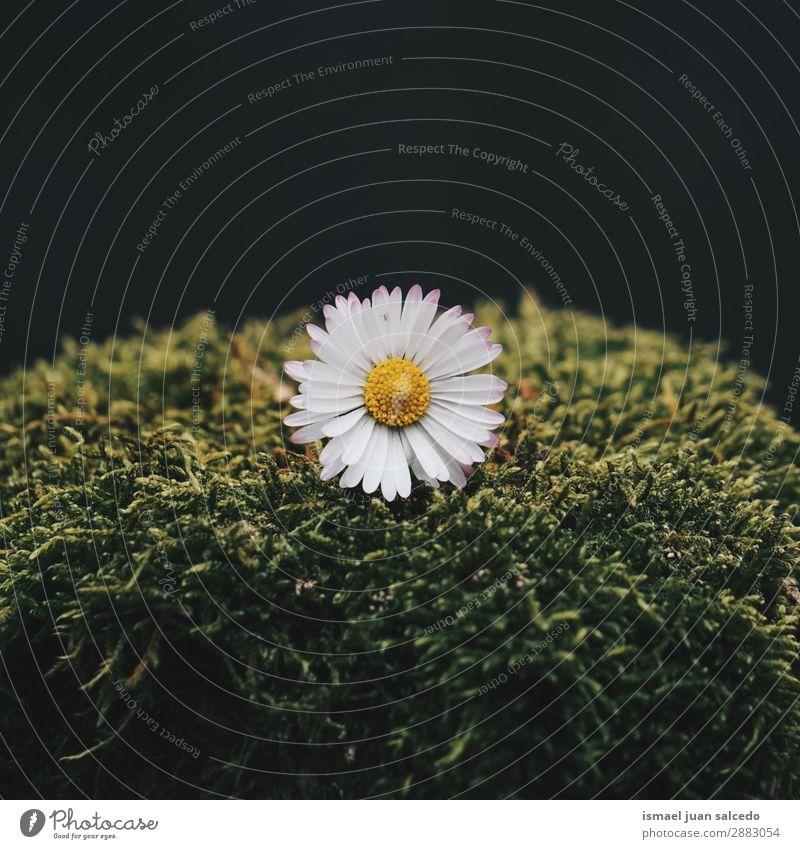 Gänseblümchenpflanze im Frühjahr Korbblütengewächs Blume weiß Blütenblatt Pflanze Garten geblümt Natur Dekoration & Verzierung Romantik Beautyfotografie