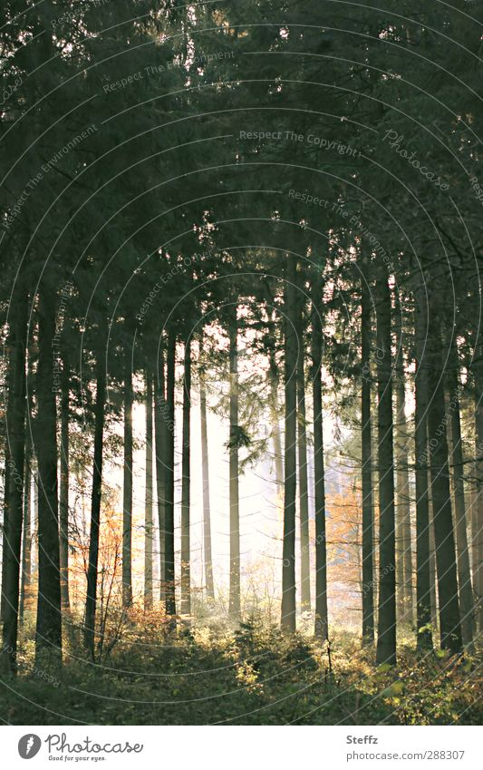 Licht im dunklen Herbstwald anders Lichtschein Waldstimmung Waldbaden dunkler Herbstwald dunkler Wald Waldbäume Waldlichtung mysteriös Waldluft dunkel