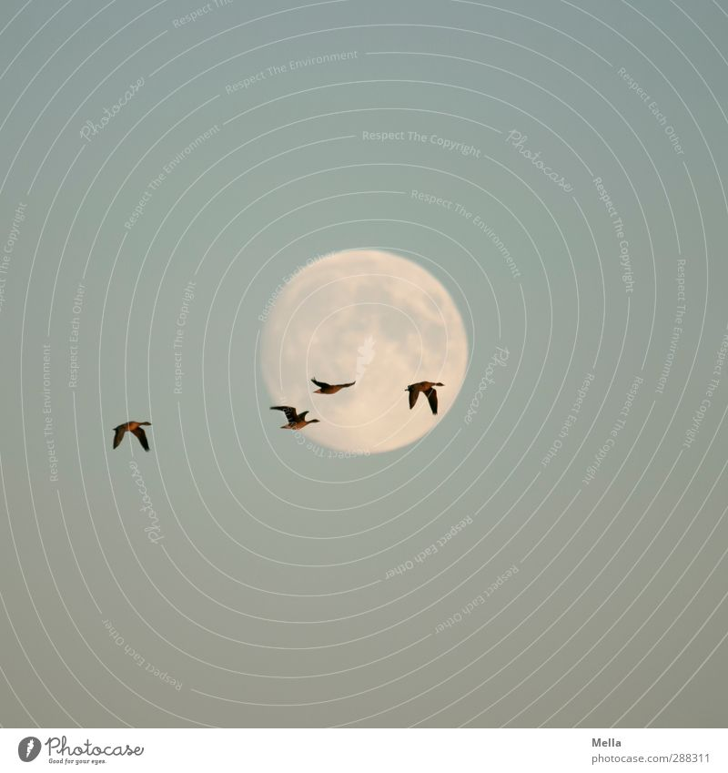 Moonlight Flying - First and last and always Umwelt Natur Tier Luft Himmel Mond Vollmond Wildtier Vogel Gans Wildgans 4 Tiergruppe fliegen leuchten frei