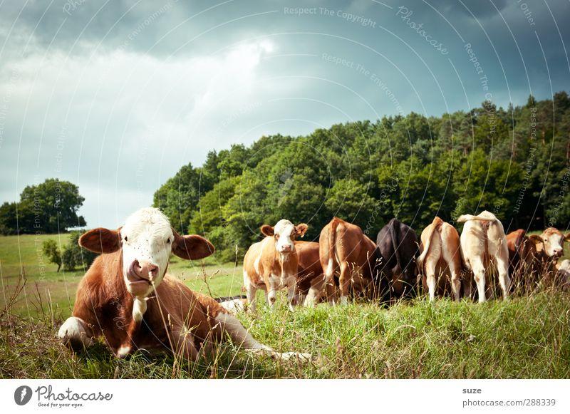 Kuwait Bioprodukte Natur Tier Wiese Nutztier Kuh Tiergruppe Herde lustig natürlich niedlich grün Tierliebe Landleben Biologische Landwirtschaft Milchwirtschaft