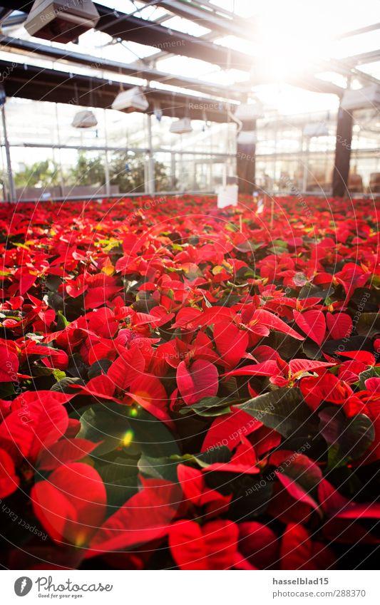 Weihnachtssterne Gewächshaus 2 Natur Pflanze Weihnachten & Advent grün Sonne rot Tier Umwelt Arbeit & Erwerbstätigkeit Wachstum Studium Botanik Gartenarbeit Labor Gewächshaus Topfpflanze