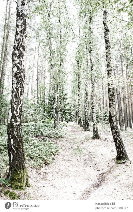 Birkenwald Thüringen Natur Ferien & Urlaub & Reisen Sommer Sonne Baum Erholung Landschaft ruhig Ferne Wald Freiheit Zufriedenheit Tourismus wandern Ausflug
