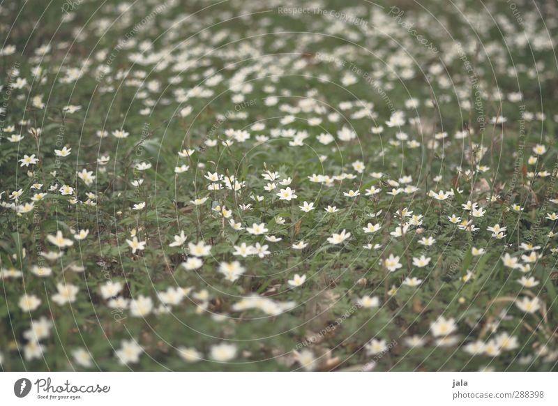 frühling Natur grün weiß Pflanze Blume Blatt Landschaft Umwelt Blüte natürlich wild Grünpflanze Wildpflanze