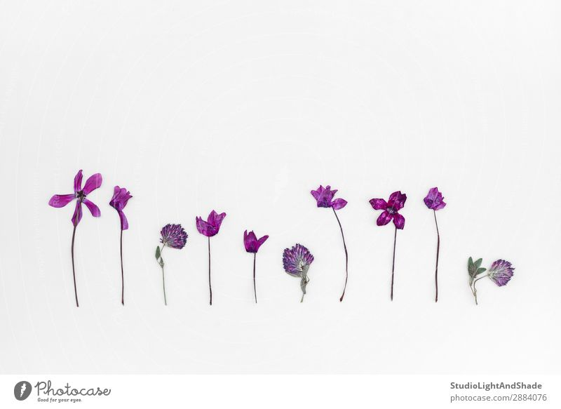 Lila Alpenveilchen und Klee Herbarium elegant Design schön Sommer Garten Gartenarbeit feminin Natur Pflanze Blume Blüte Linie Blühend einfach natürlich retro