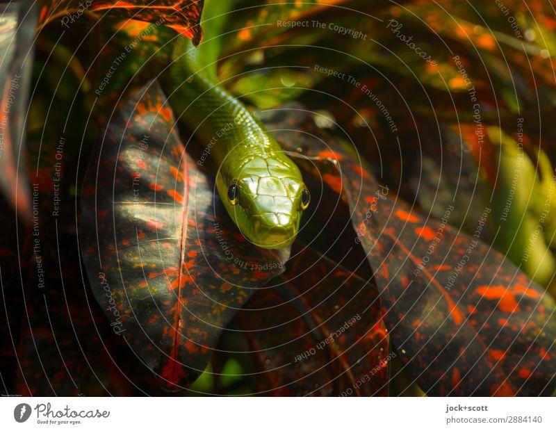 beinah hautnah Mamba Tier Pflanze Blatt exotisch Urwald Afrika Tiergesicht Aquarium Grüne Mamba 1 klein Stimmung Schutz Wachsamkeit bedrohlich Natur Gift