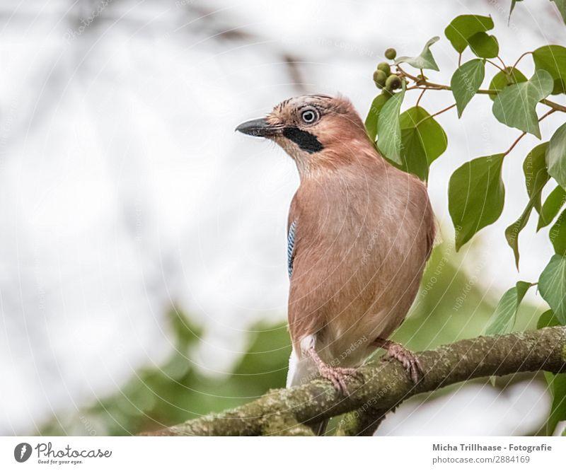 Aufmerksamer Eichelhäher Natur Tier Himmel Sonnenlicht Schönes Wetter Baum Blatt Zweige u. Äste Wildtier Vogel Tiergesicht Flügel Krallen Schnabel Auge