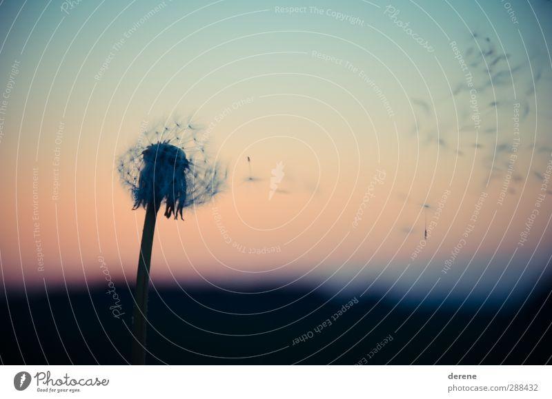 Pusteblume. Pflanze Wolkenloser Himmel Sonnenaufgang Sonnenuntergang Löwenzahn Garten Blühend fliegen blau orange schwarz Gefühle Zufriedenheit Leidenschaft