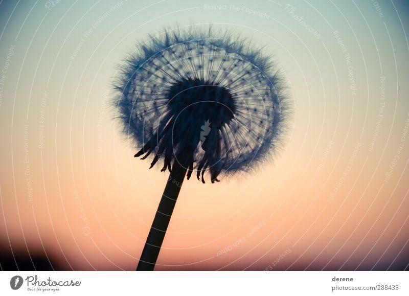 Pusteblume Silhouette Himmel Natur blau schön Pflanze ruhig Landschaft Umwelt Wärme Gefühle Garten Stimmung orange berühren Landwirtschaft Kugel