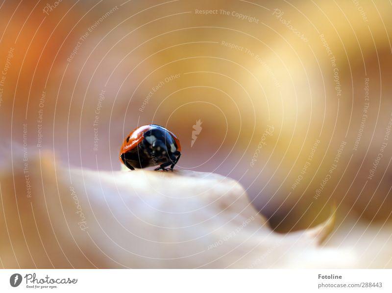 Da kommt Glück auf mich zu! Umwelt Natur Pflanze Tier Herbst Blatt Käfer 1 hell klein nah natürlich rot schwarz Marienkäfer herbstlich Herbstlaub krabbeln