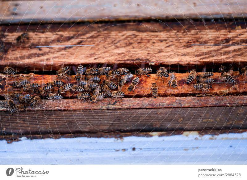 Bienen sitzen auf dem Bienenstock Sommer Arbeit & Erwerbstätigkeit Mensch Mann Erwachsene Natur Tier zeichnen natürlich Ackerbau Bienenkorb Bienenzucht