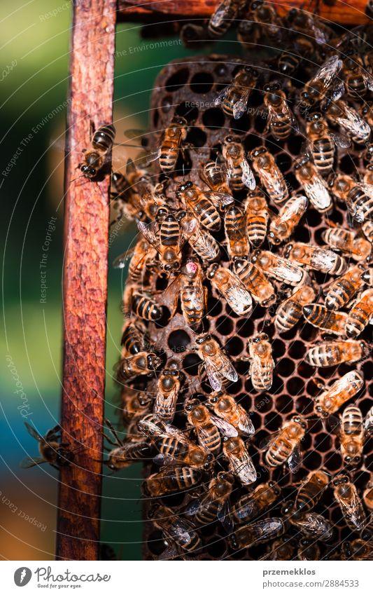 Bienenstock auf Wabe sitzend Sommer Arbeit & Erwerbstätigkeit Mensch Mann Erwachsene Natur Tier zeichnen natürlich Ackerbau Bienenkorb Bienenzucht Bienenhof