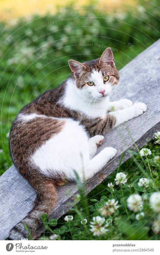 Katze, die auf einer Planke im Freien liegt und auf die Kamera schaut. schön Leben Natur Tier Gras Haustier lustig niedlich grau grün reizvoll heimisch pelzig