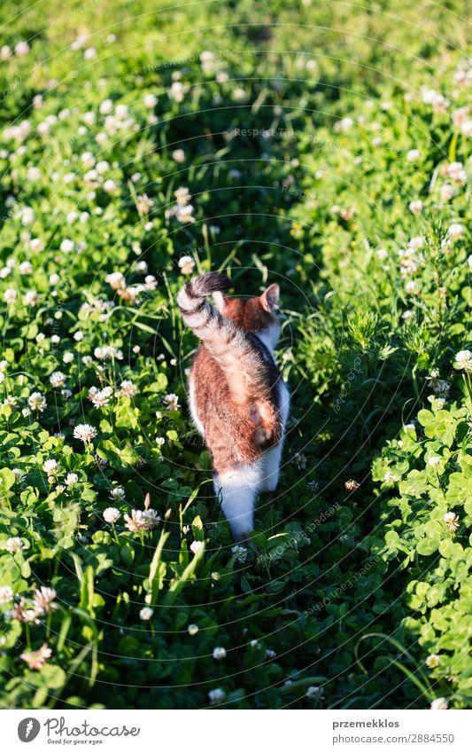 Rückansicht der Katze, die durch das Gras im Garten läuft. schön Leben Natur Tier Haustier lustig niedlich grau grün reizvoll heimisch pelzig Katzenbaby laufen