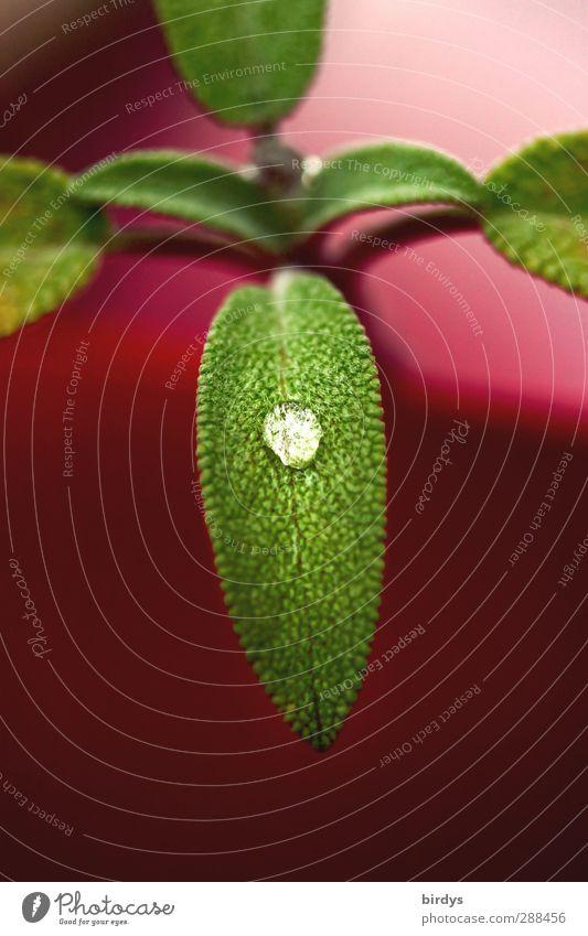 Salbei auf Rosa Kräuter & Gewürze Wassertropfen Blatt Grünpflanze Topfpflanze Duft glänzend leuchten Wachstum ästhetisch außergewöhnlich elegant frisch positiv