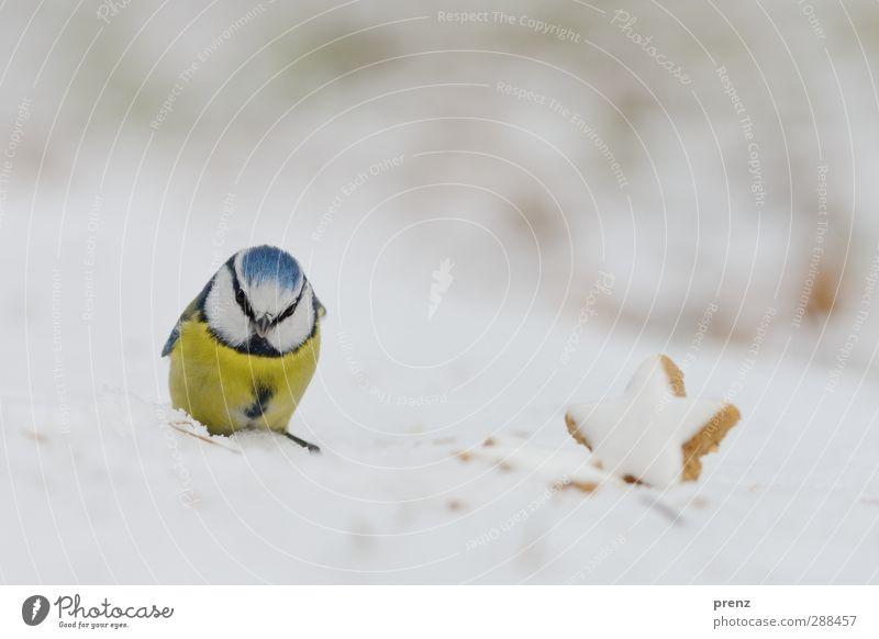 weihnachtliche Blaumeise Umwelt Natur Tier Schnee Wildtier Vogel 1 niedlich blau gelb Meisen Zimtstern Weihnachten & Advent Farbfoto Außenaufnahme Menschenleer