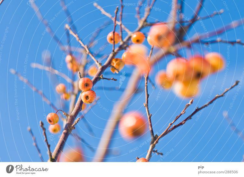 kirschapfelbaum Himmel Wolkenloser Himmel Winter Schönes Wetter Baum Apfelbaum Ast Zweig Blütenknospen blau gelb orange Frucht zwergapfelbaum kahl laublos