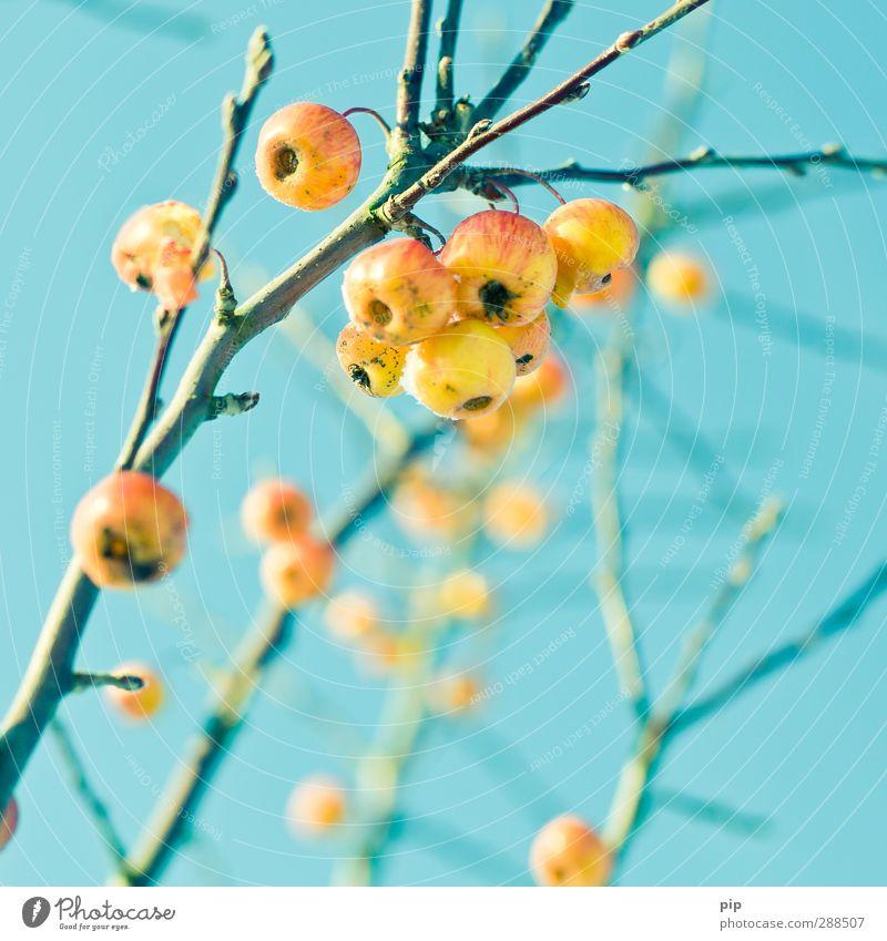 natürliches vogelfutter Natur Pflanze Himmel Wolkenloser Himmel Winter Schönes Wetter Baum Apfel Apfelbaum Zweig Ast Blattknospe frisch hell schön gelb türkis
