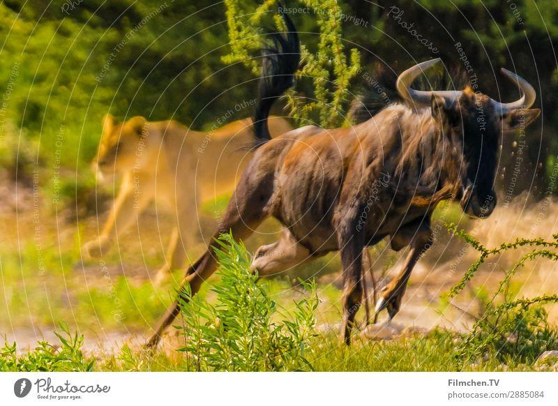 Löwenjagt Wildtier Gnu Angst Abenteuer Geschwindigkeit Afrika Etoscha-Pfanne Namibia Farbfoto Außenaufnahme Textfreiraum links Textfreiraum rechts