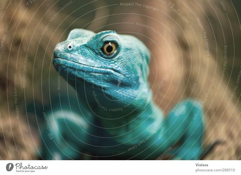 Ein Auge drauf werfen ....... Tier beobachten Tiergesicht türkis Wachsamkeit Echsen
