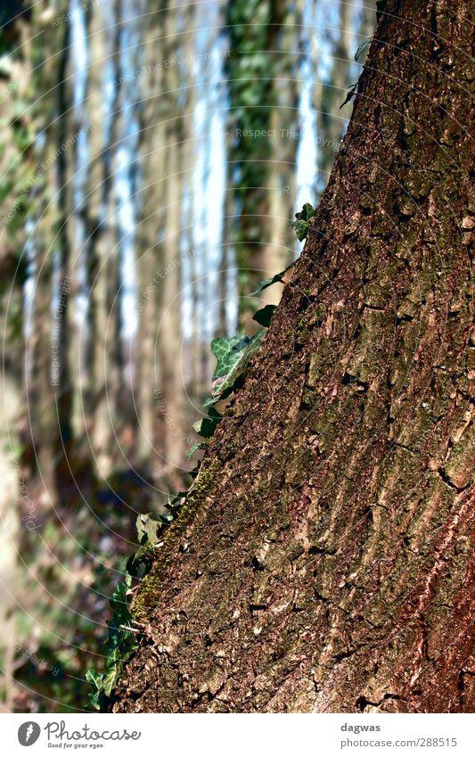 Angelehnt Umwelt Natur Landschaft Pflanze Urelemente Frühling Schönes Wetter Baum Sträucher Blatt Efeu Wald Heidelandschaft alt ästhetisch natürlich blau braun