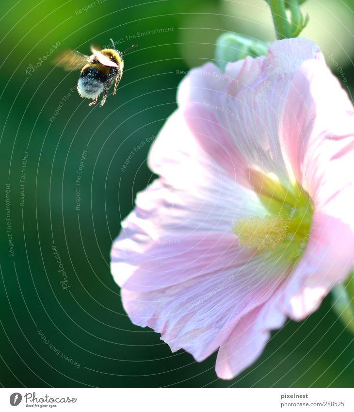 Bienchen und Blümchen Pflanze Sommer Blume Tier Blüte Garten fliegen rosa Wildtier Flügel Rose Insekt Duft Biene Vorfreude fliegend